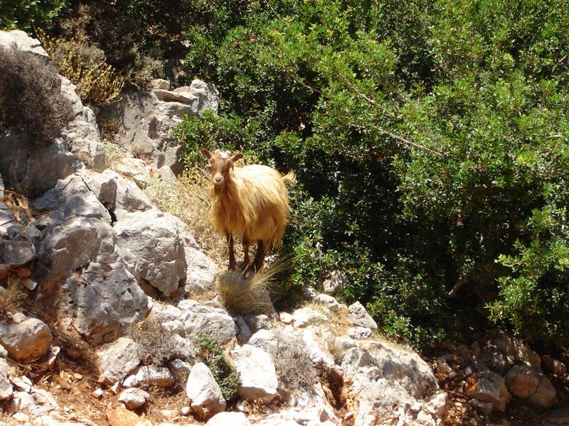 Lassithi hoogvlakte geit