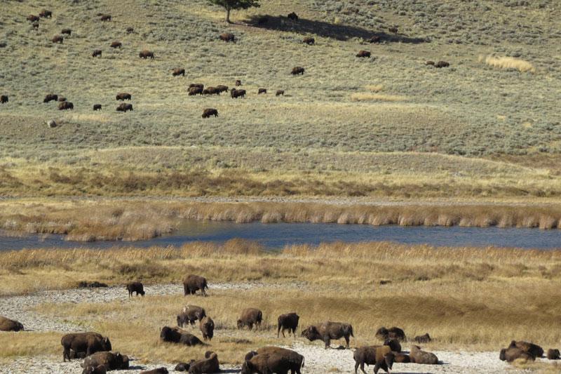 Yellowstone Buffels