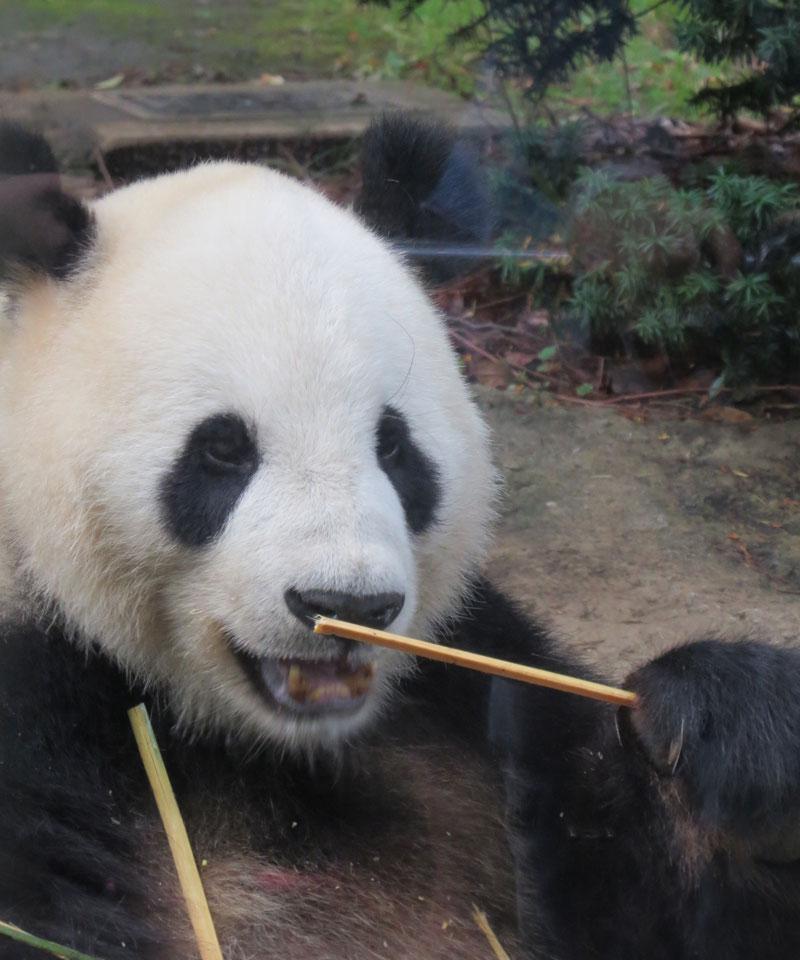 Pandabeer Ueno parc Tokyo