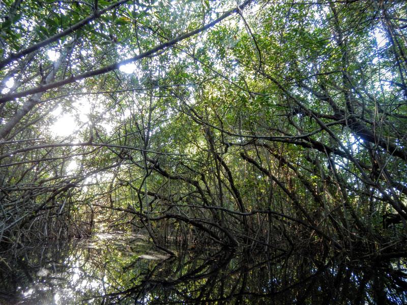 Everglades mangrove