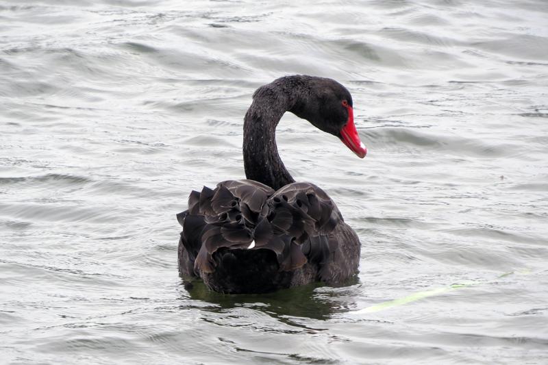 Melbourne zwarte zwaan