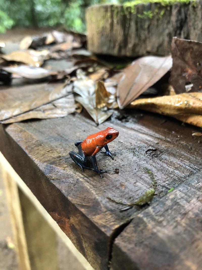 Strawberry Poison Dart Frog in Costa Rica.