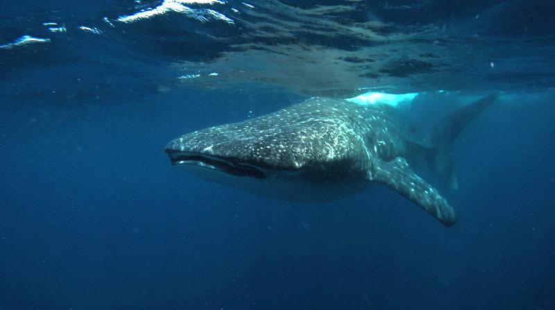 Snorkelen met walvishaaien in Mexico.
