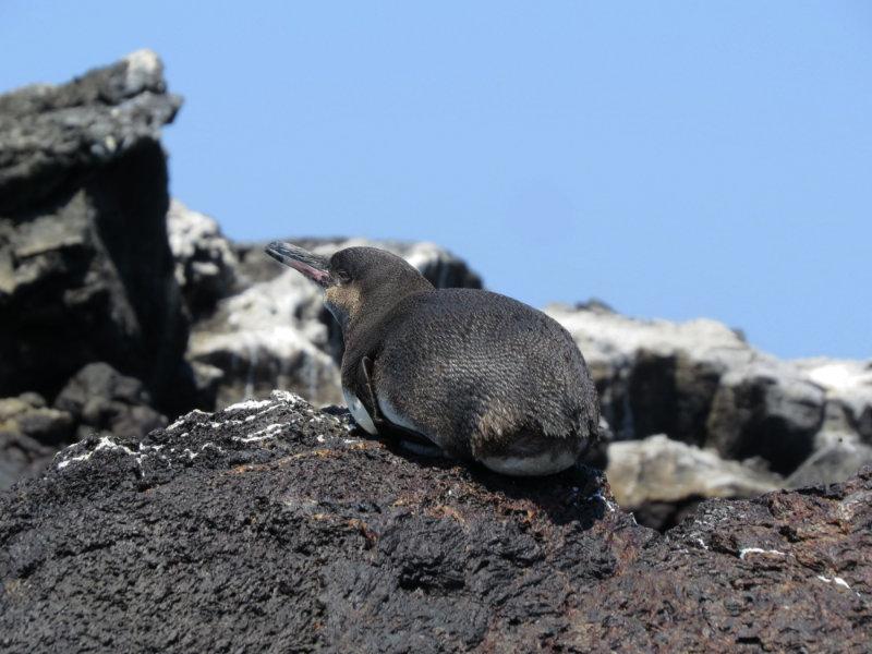 Pinguïn Galapagoseilanden.