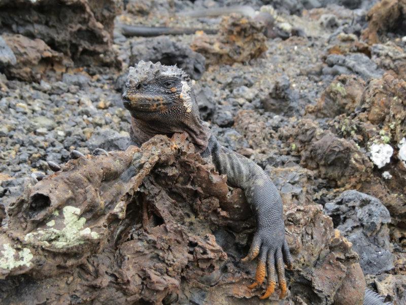 Zeeleguaan op de Galapagoseilanden.