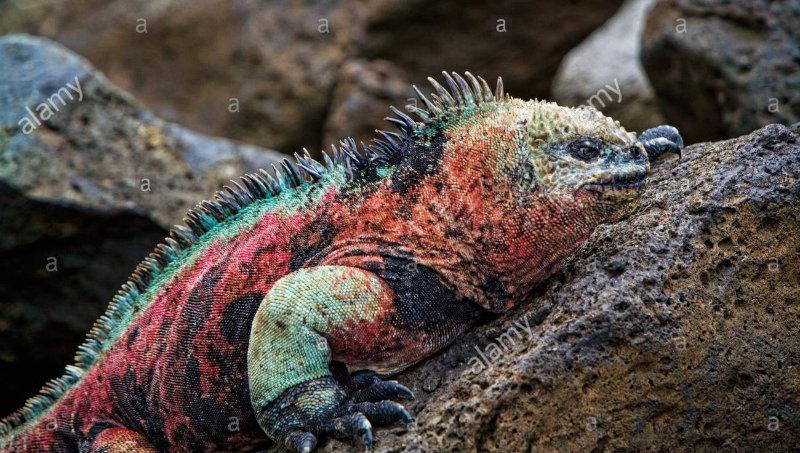 Kerstmis leguaan Galapagoseilanden.