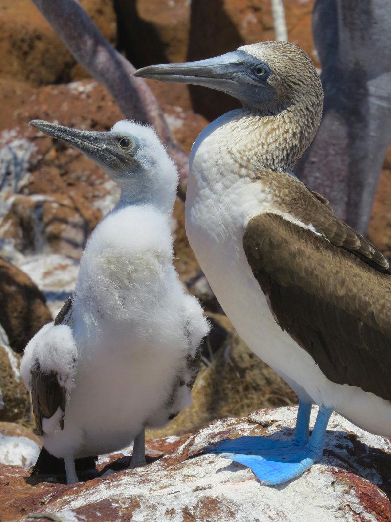 Blue-footed Booby Galapagos eilanden Ecuador.